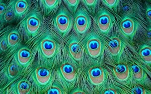 peacock feathers are fractal animations and fractals in nature